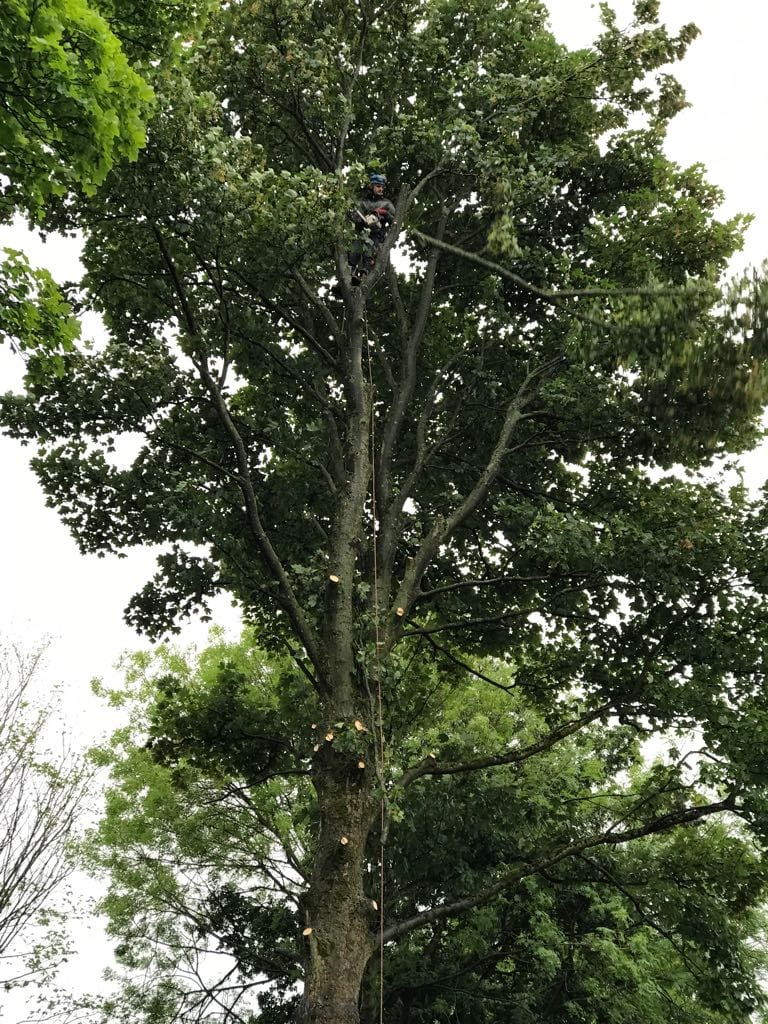 Tree pruning in Gatley Cheadle Stockport Cheshire