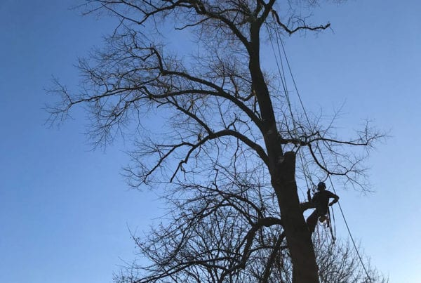 Tree services and stump removal Hale Altrincham Cheshire